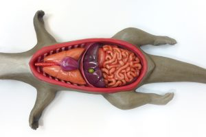 Anatomic Interactive Model Otter