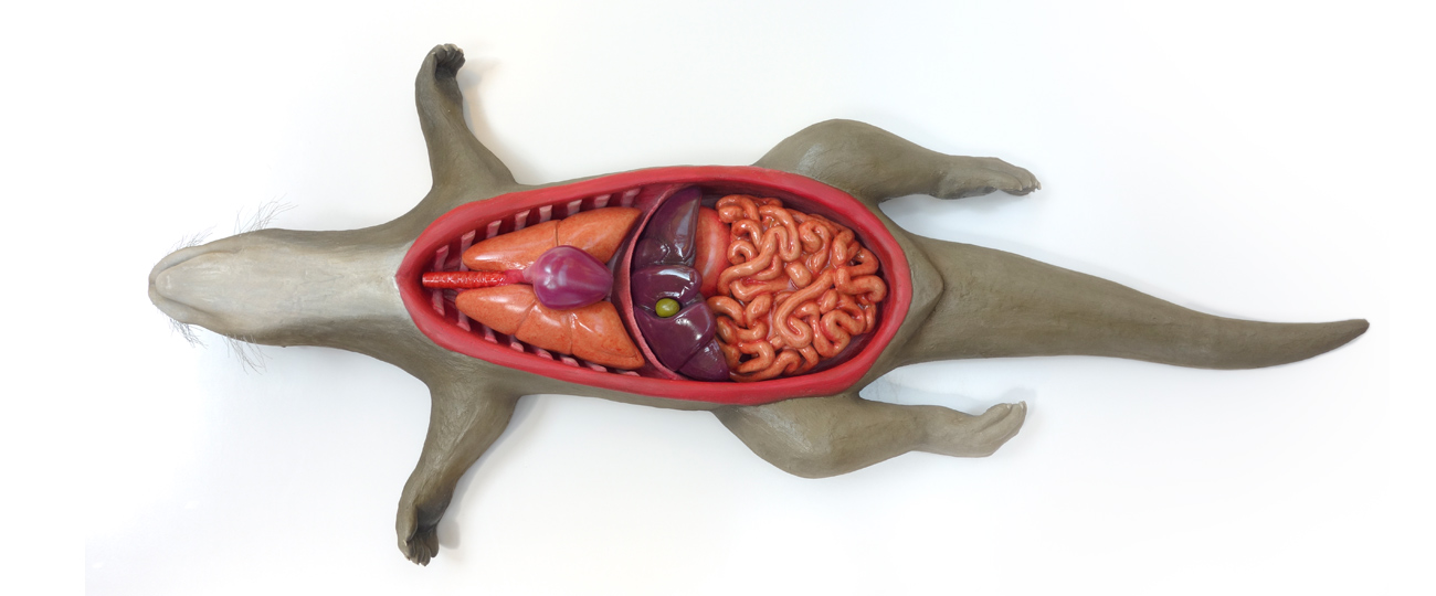 Anatomic Interactive Model Otter